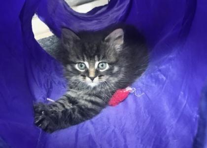 Mufasa-Kitten