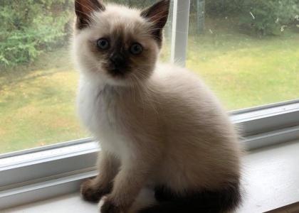 Evageline-Kitten