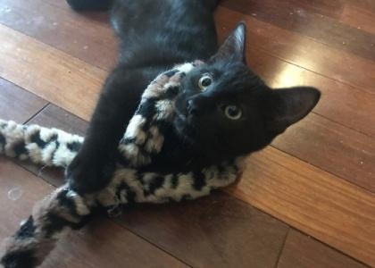 Black Jack-Kitten