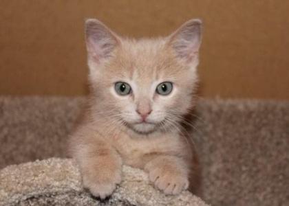 Mister Big- Kitten