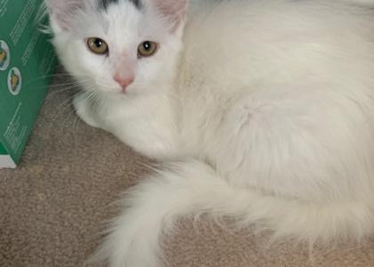 Brianna- Kitten