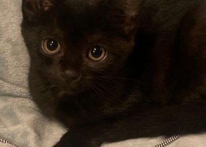 Coal-Kitten