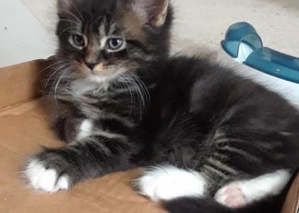 Blackberry-Kitten